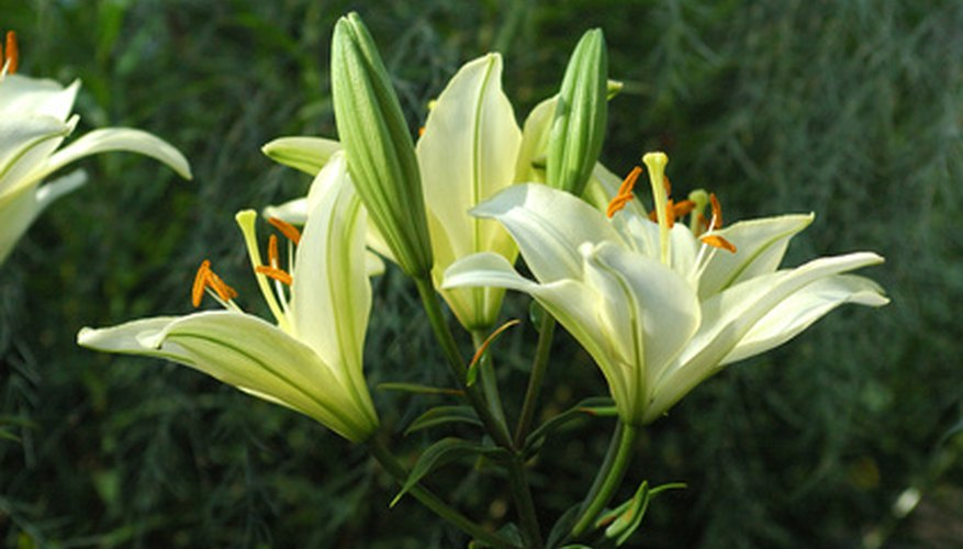 White lilies are often used for weddings and as Easter decorations.
