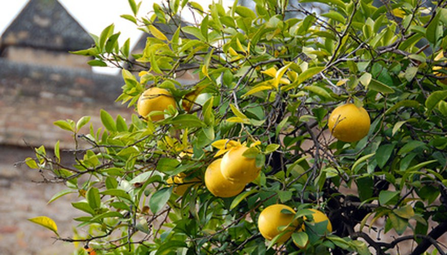 Lemon Tree are pollinated by the bees.