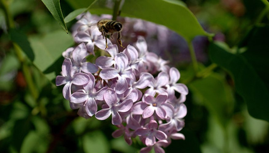 The lilac adds color to the garden.