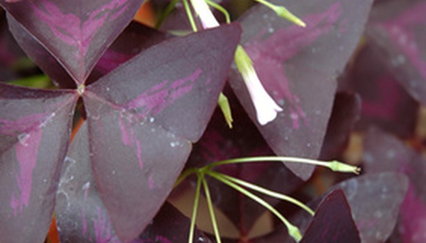 The leaves of this oxalis plant are similar to those of common green oxalis, except for the purple leaf color.