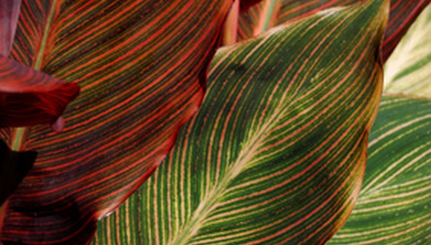 Healthy canna lily foliage is usually green, but some cultivars have varigated foliage to add to the color of the landscaping.