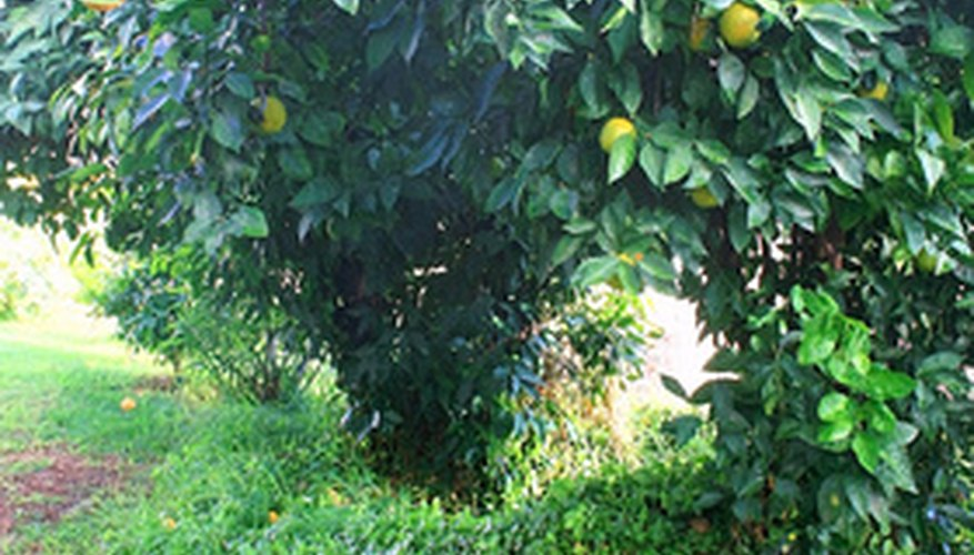 Navel orange tree.