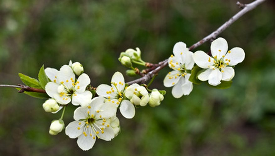 The native American plum displays fragrant white flowers before other trees display their first leaves.