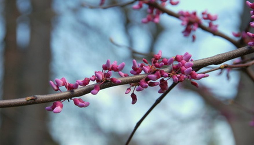 Blooms form on the branches of the Redbud tree.