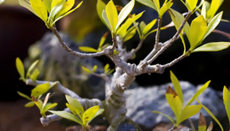 Repot your bonsai to maintain its health.