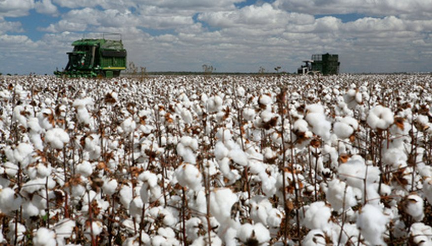 A Field of Cotton Ready for Harvesting