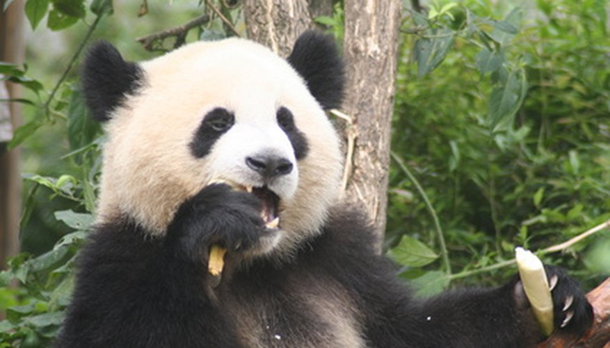 Adult pandas spend most of their time eating.