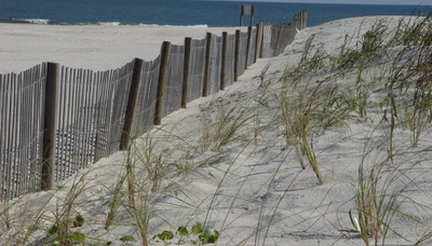 Planting native dune grasses later in the season helps stabilize the dunes that form near the sand fence.