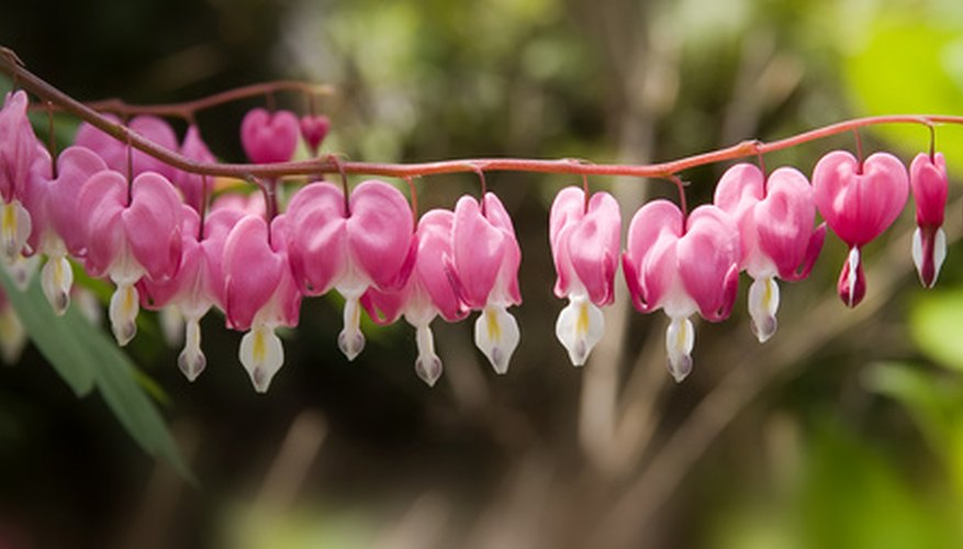 Bleeding hearts are hardy to USDA zone 3.