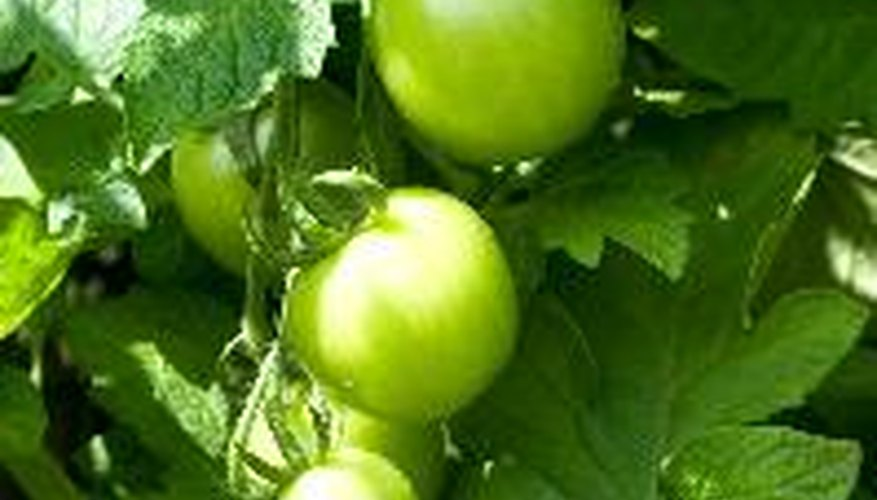 Tomato plants need 1 inch to 2 inches of water per week.