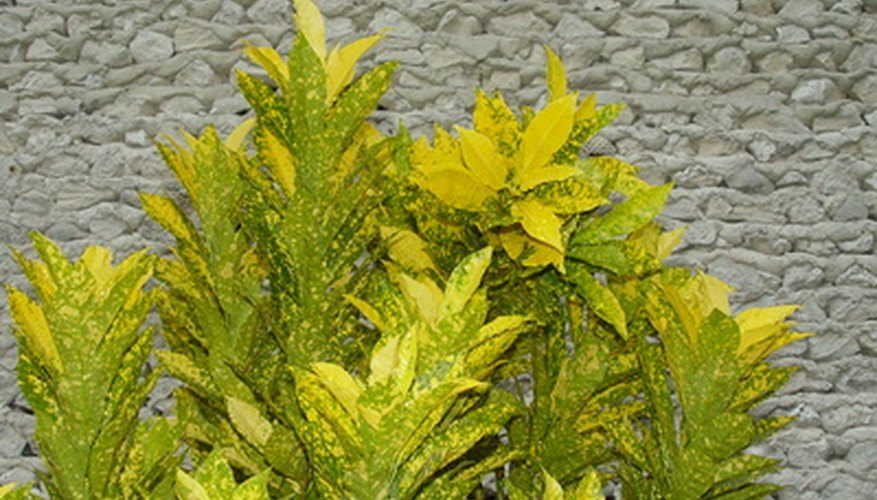 Crotons' colorful foliage can add vibrant hues to your backyard.