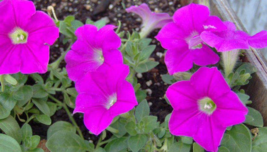 Petunias are popular in hanging baskets and garden borders.