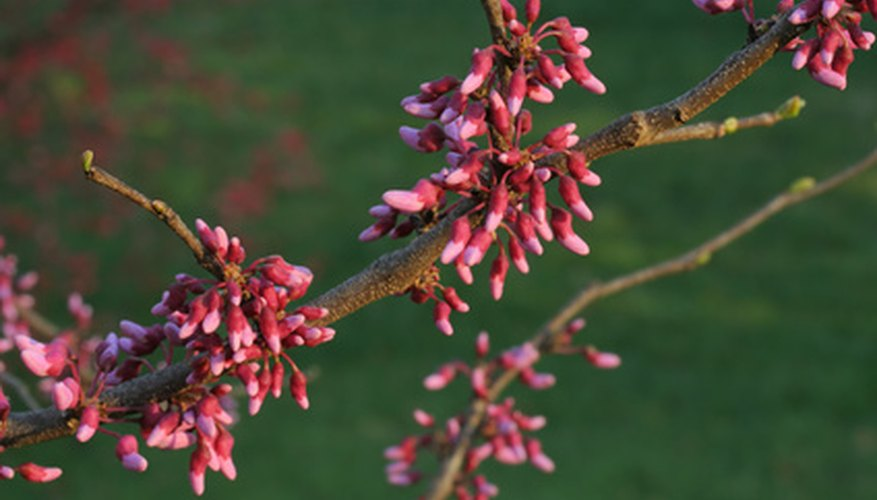 Close-up of Eastern redbud flower buds.