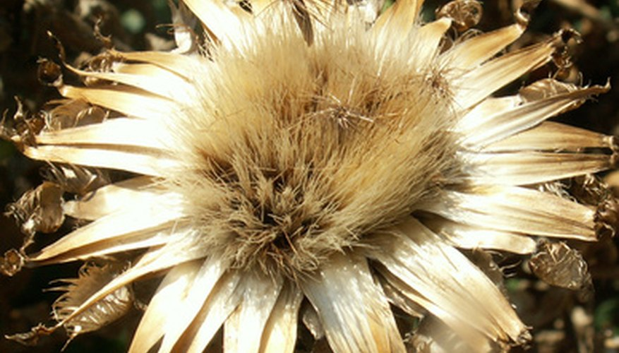 Thistles are an invasive weed.