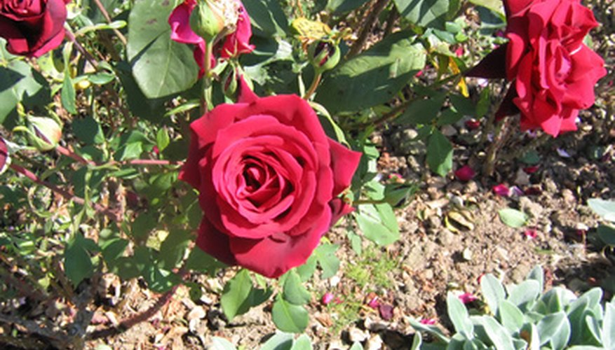 Pruning a rose bush is good for the plant.