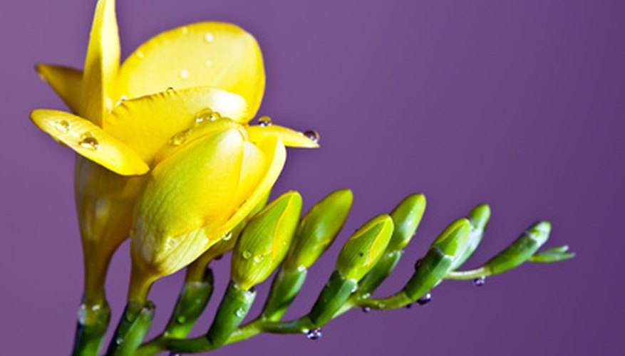 The stem of the freesia tends to bend so the flowers are always upright with the inside pointing upward.