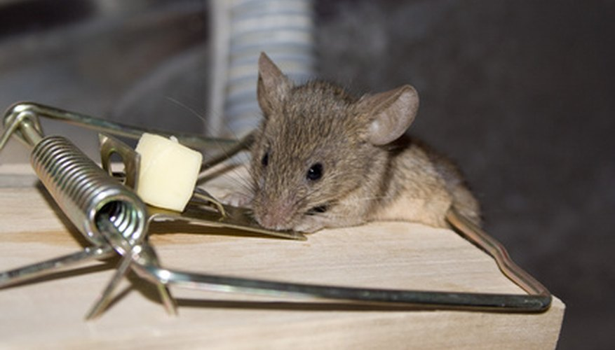 The early bird may get the worm, but the second mouse gets the cheese.