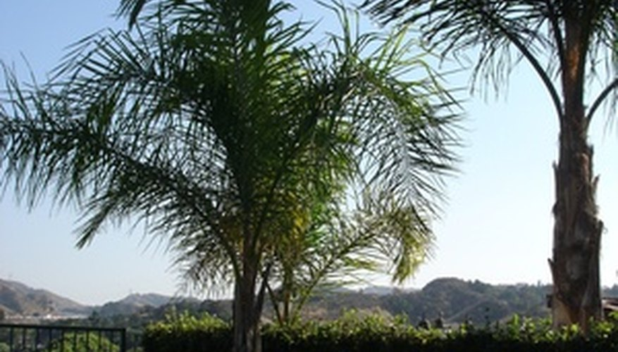 Enjoy a healthy palm tree with regular applications of Epsom salts.