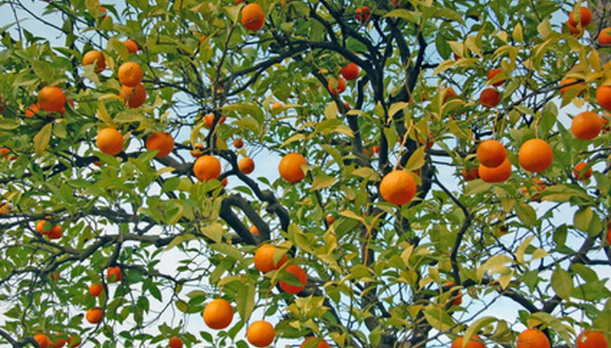 The Tangerine Tree Is A Tropical Fruit Bearing Tangerines Originated In Southeastern Asia And Are Hardy USDA Zones 9 To 12
