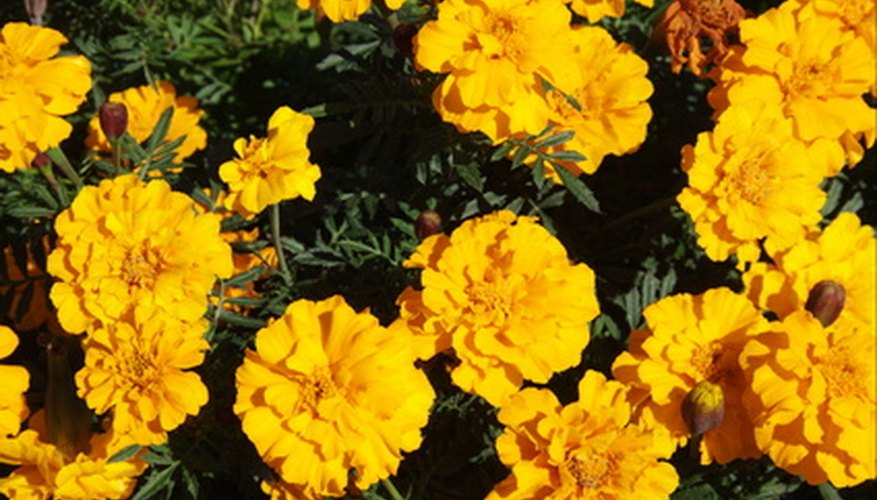 Plant marigolds in the vegetable garden to ward off certain destructive insects.