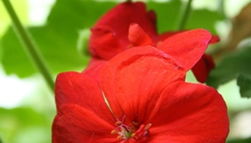 Include hardy annuals such as geraniums in planters.