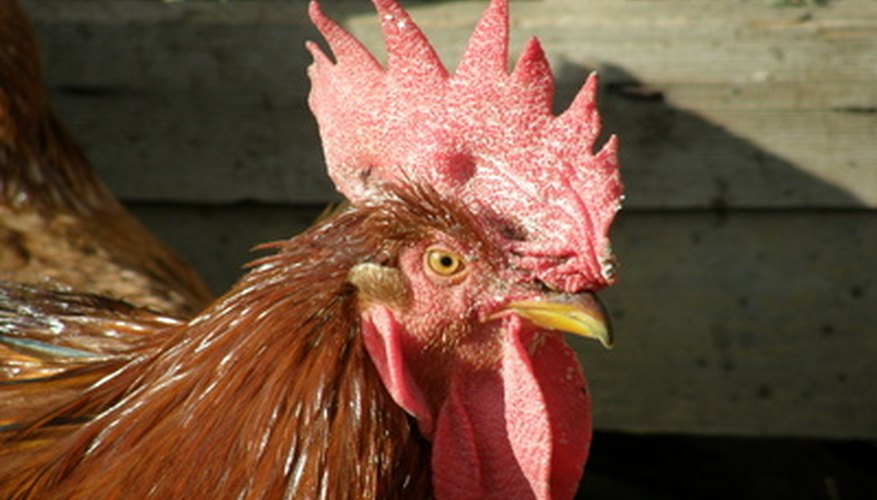 Hylauronic acid is purified from the comb of roosters, among other sources.