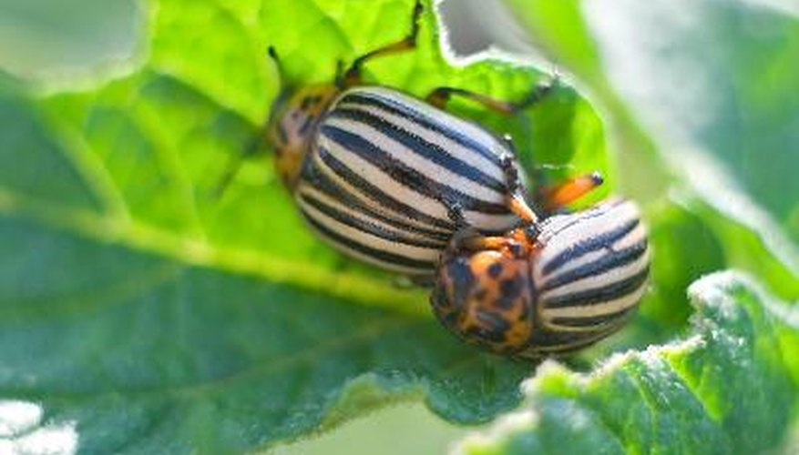 Potato beetles overwinter in plant debris in the garden.