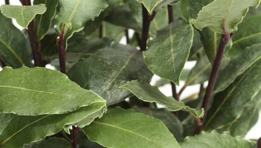 Bay laurel foliage is evergreen and lush.