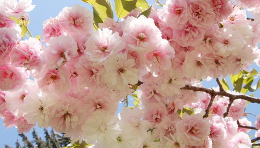 Cherry trees shares the same family as roses, almonds, apricots and plums.
