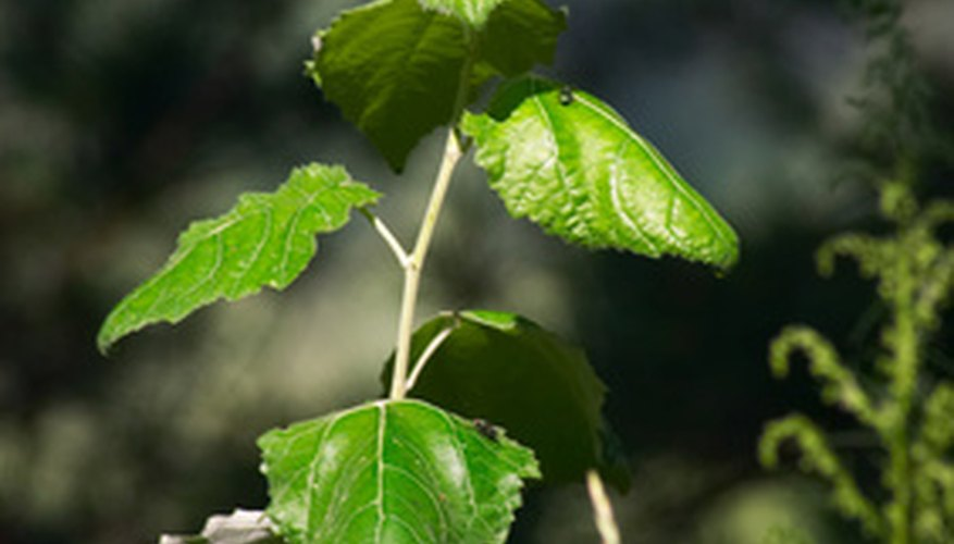 Too many cottonwood leaves may raise the pH of your soil.