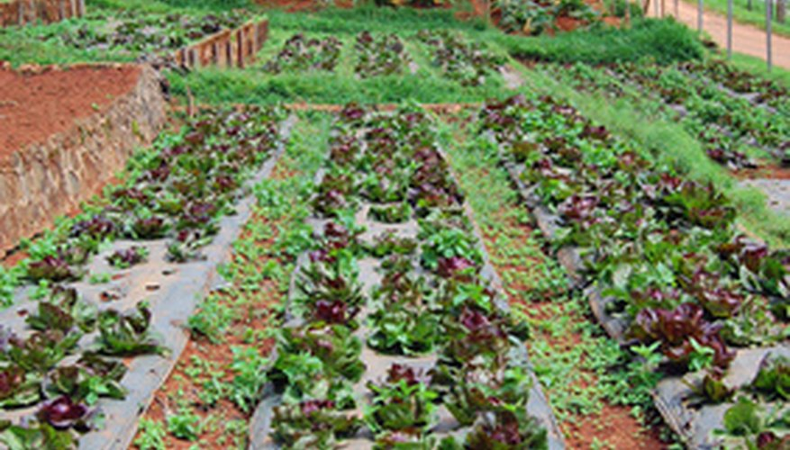 Lettuce will thrive all summer long given the right conditions.