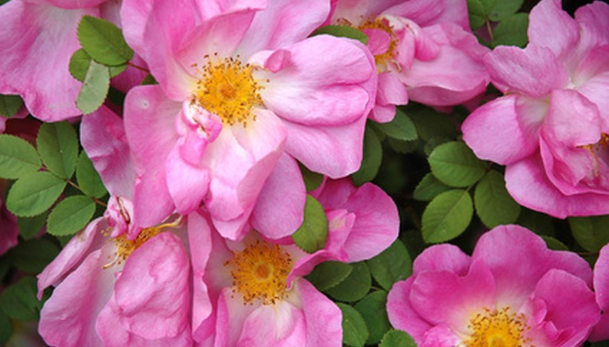 Native roses bring fragrant color to Georgia's wild places.