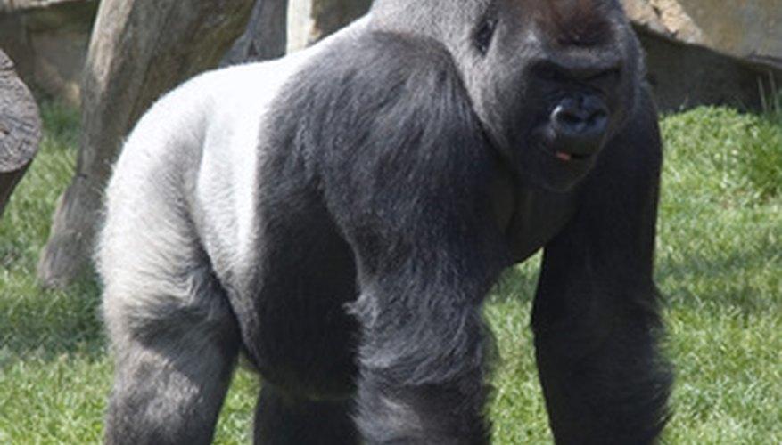 Gorilla beringei beringei.