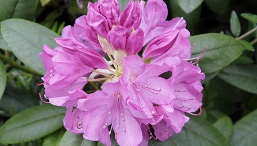 Rhododendrons are familiar shade-loving shrubs.