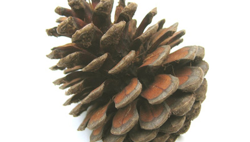 Pine cones are the flowers of pine trees.