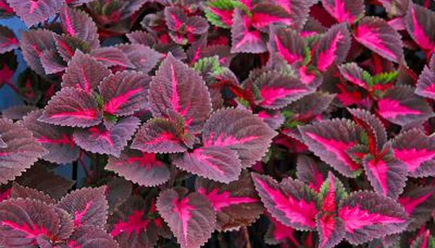 Coleus is a plant that isn't green.