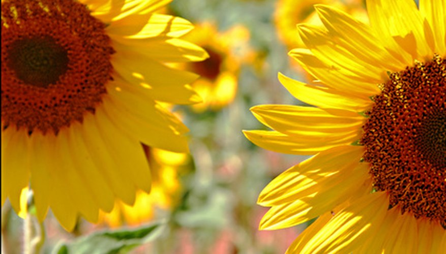 Sunflower oil is an ingredient in diesel fuel.