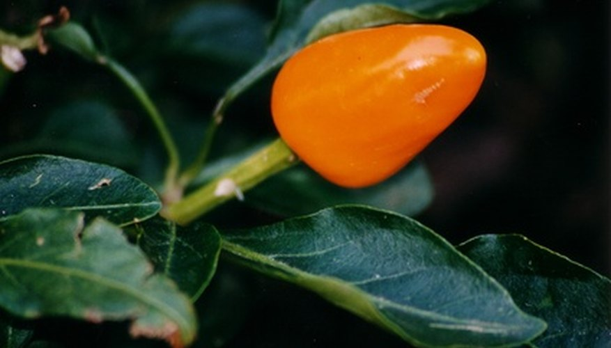 Pepper plants can develop yellow leaves that are symptoms of various problems.