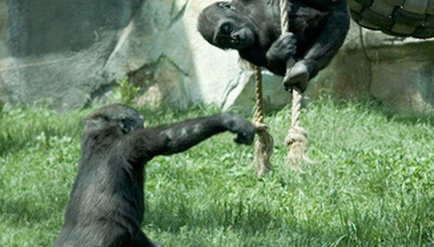 Gorillas are very social creatures.