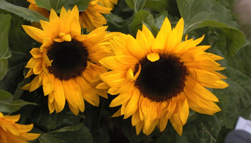 Sunflowers are an annual