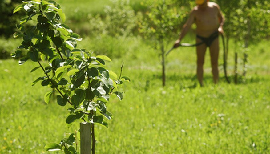 A worker tends to young fruit trees in a Mexican fruit orchard.