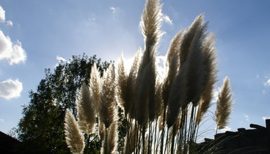 The pampas grass' large seed heads create eye-catching arrangements in any backyard.