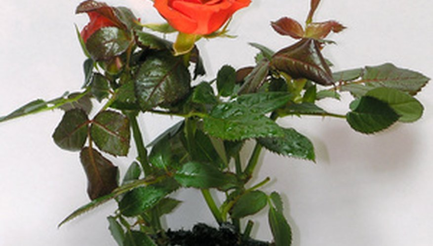 Potted roses are perfect for small spaces.