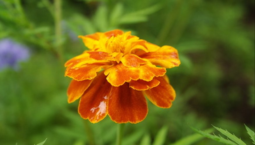 Marigolds are one of nature's best pest deterrents.