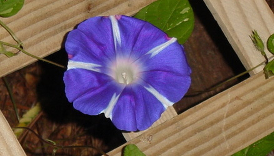 Morning glory vine on a trellis