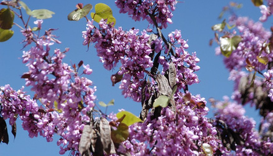 Overgrown lilacs will bloom only at the top and look wilted.