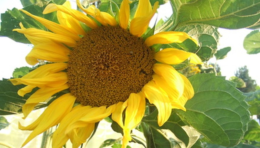 Sunflower seeds grow in the center of the sunflower.