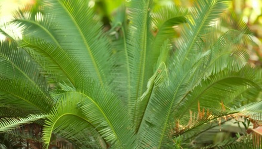 The cardboard palm is not a true palm, but it  adds a touch of exotic beauty to almost any garden.
