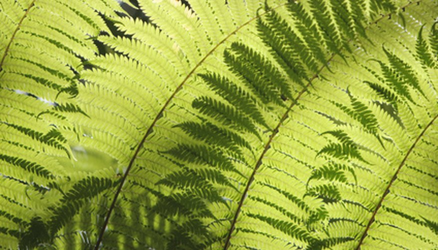Ferns have existed for 300 million years, placing them among the earth's oldest living organisms.