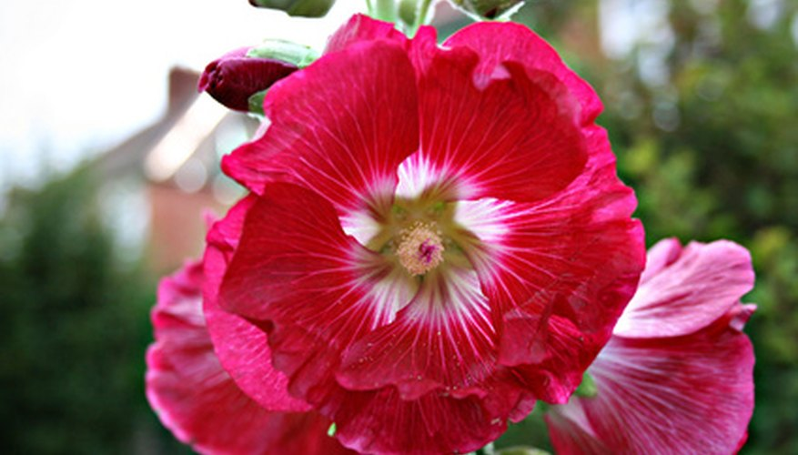 Some hollyhocks may grow to be up to eight feet tall.